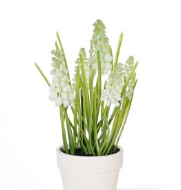 White Grape (Muscari) x3 big flrs, x3 small flrs, x35lvs in cream paper pot, 25cm - Copy