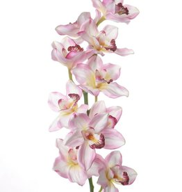 "Cymbidium x 10 Flrs JUMBO ""Jade Collection"" 91cm"