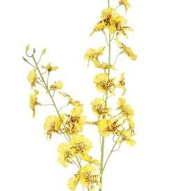 Oncidium (Tiger Orchid) x34flrs & 11bds, 87cm