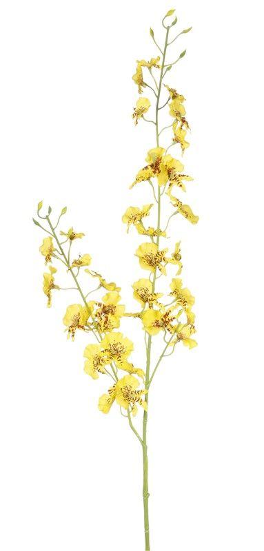 Oncidium (Tigerorchidee) mit 34 Blüten, 11 Knospen, 87cm