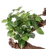Pothosbush (Scindapsus) medium, 9 Verzweigungen, 60 Blätter, 50 cm, schwer entflammbar