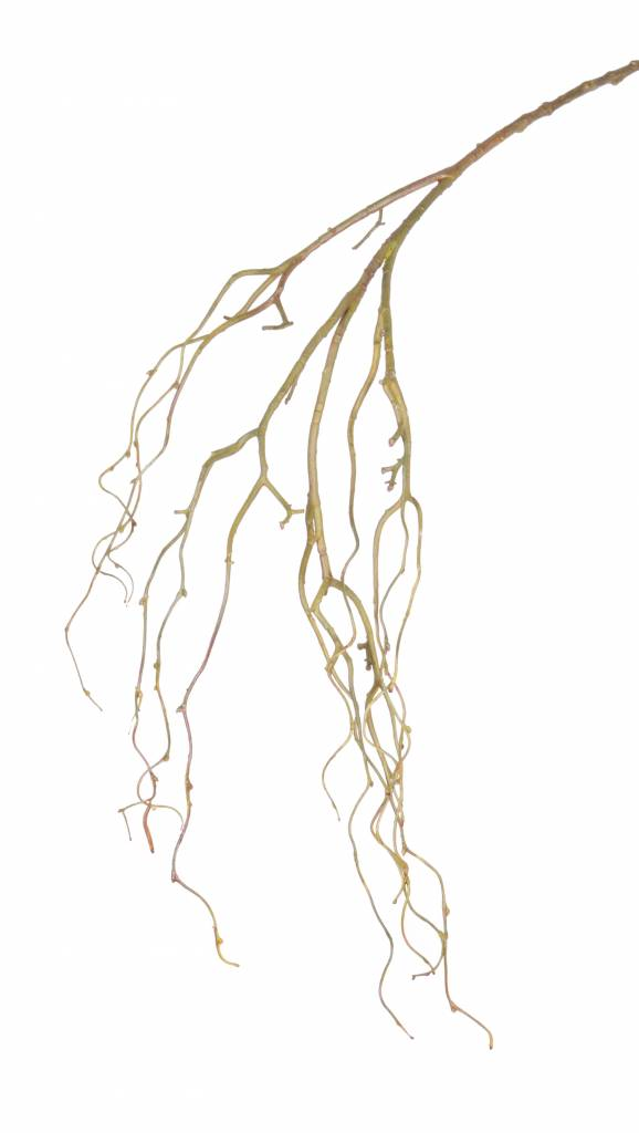 Treurwilgtak (Salix) large x12, coated, 105cm