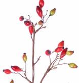 Hundsrose, Heckenrose (Rosa canina) mit 41 Früchten, 109cm