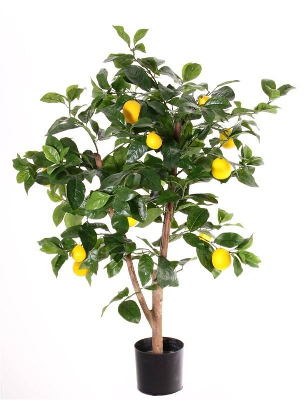 Zitronenbäumchen (Citrus limon), 85cm
