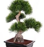 Bonsai Pinus mugo (Bergden), 4 Köpfe, 96 Bündel mit Blättern, in keramischen Topf, 70cm
