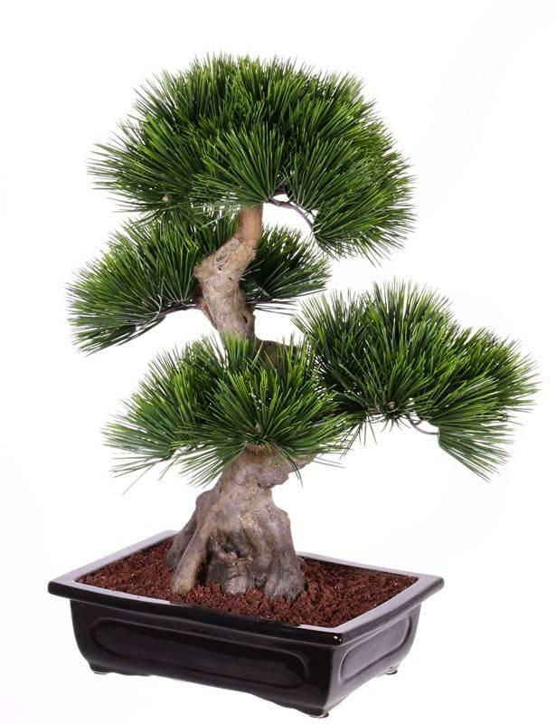 Bonsai Pinus mugo (Bergden), 4 koppen, 96 bundels blad, in keramieke tray, 70cm