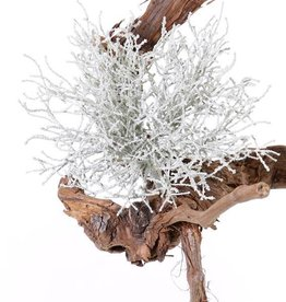 Silberkörbchen (Calocephalus), 25cm, Ø 25cm