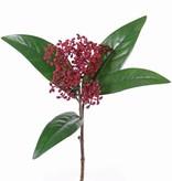 Skimmia, 8 grupos, 4 hojas, 36cm