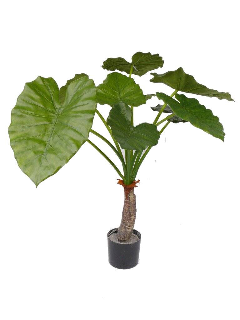 Alocasia calidora 80cm