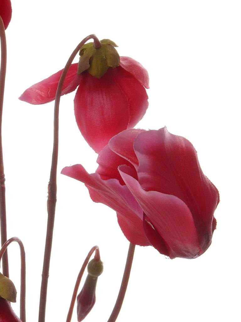 Cyclamen with 5 flowers, 4 buds and no leaves 40cm