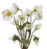 Helleborusplant met 6 bloemen, 6 knopppen en 4 blaadjes 30cm