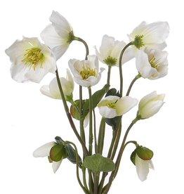 Helleboruspflanze x12 mit 6 Blueten, 6 knospen & 4 blaetter 30cm