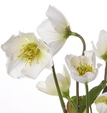Christmas rose (Hellebore) plant x12 with 6 flowers, 6 buds & 4 leaves 30cm