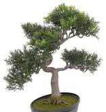 Bonsai, Teeblatt, 217 Blaetter, 40cm