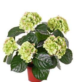 Hydrangea 204flowers, 30 leaves, in pot,  36cm