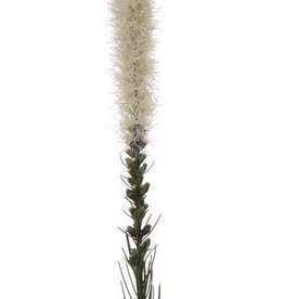 "Button snakeroot, Guy feather, Liatris spicata ""Jade Collection"" 80cm"