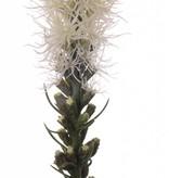 "Button snakeroot, Guy feather, Liatris spicata ""Jade Collection"" 80cm"