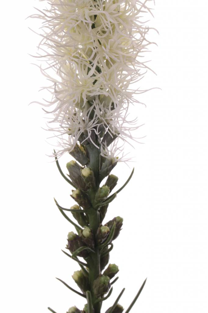 "Liatris spicata ""Jade Collection"" 80cm"