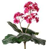 Bergenia Bush 40cm - without pot