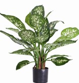 Dieffenbachia candida plant with 26 lvs., in pot, 51cm
