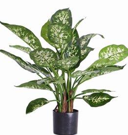 Dieffenbachia candidaplant (Aronkskelk) met 26 bladeren, in pot, 51cm