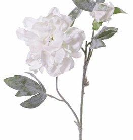 Rosa Paeonia, 1 flor, 1 capullo, nieve 61cm