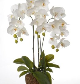 Phalaenopsis x 3 W/23 Flrs, 8 Buds, 17 Lvs, Roots W/Art Brown Soil (No Pot), 76cm
