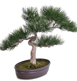 Bonsai Angel pine, in pot, h 43cm