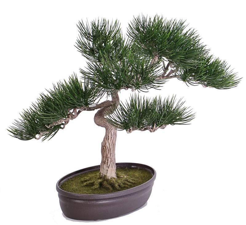 Bonsai Angel pine, in pot, h 43cm