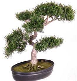 Ceder bonsai 40cm