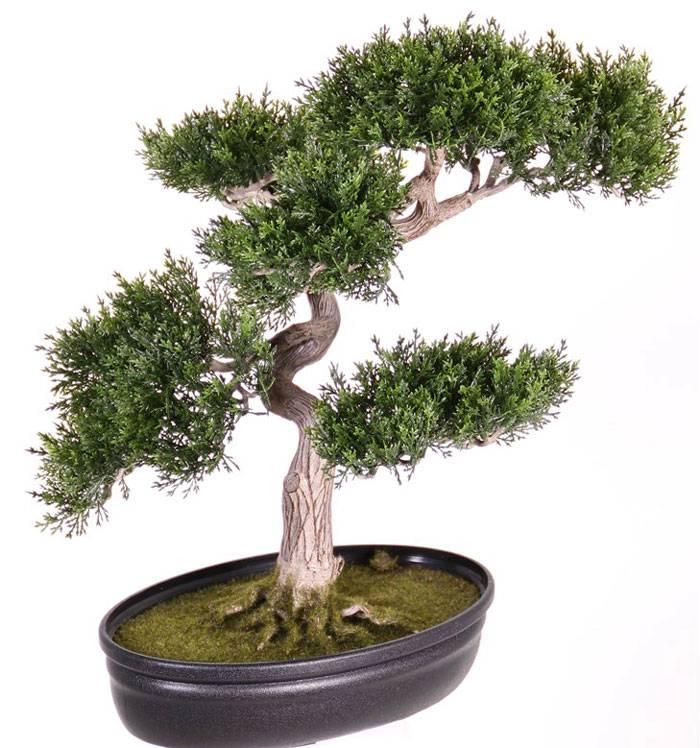 Ceder bonsai met 225 blaadjes 40cm