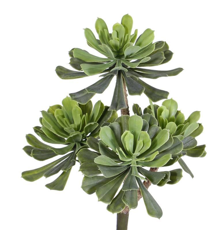 Aeonium, Dickblattgewächs mit 4 Trieben, Ø 14/11/10cm, 33cm, ohne Topf