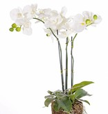 "Phalaenopsisplant ""natural touch"", 20 bloemen, 7 knoppen,  15 bladeren, wortels en mos, 65cm"