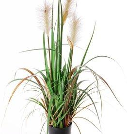 Rietplant bloeiend x3 81 cm in pot