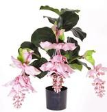 Medinillaplant with 4 big flowers, 65 cm in black plastic pot