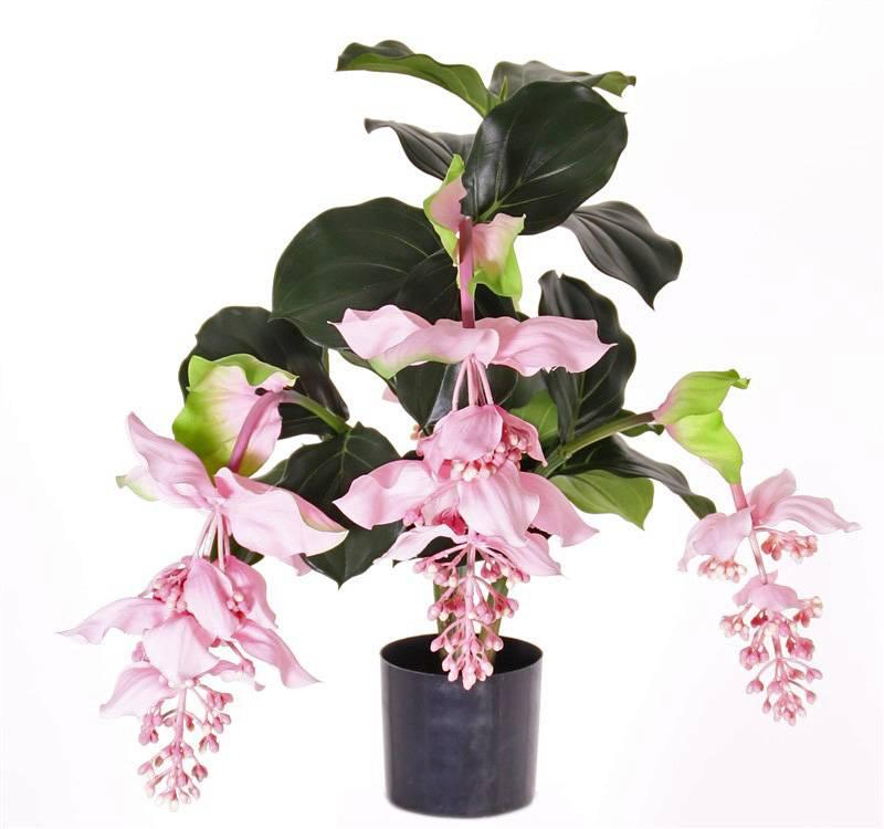 Medinilla magnifica mit 4 wunderbaren Blütenständen, 80cm im Plastiktopf