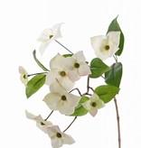 Japanischer Blüten-Hartriegel (Cornus kousa) 9 Blumen & 8 Blätter, 68cm