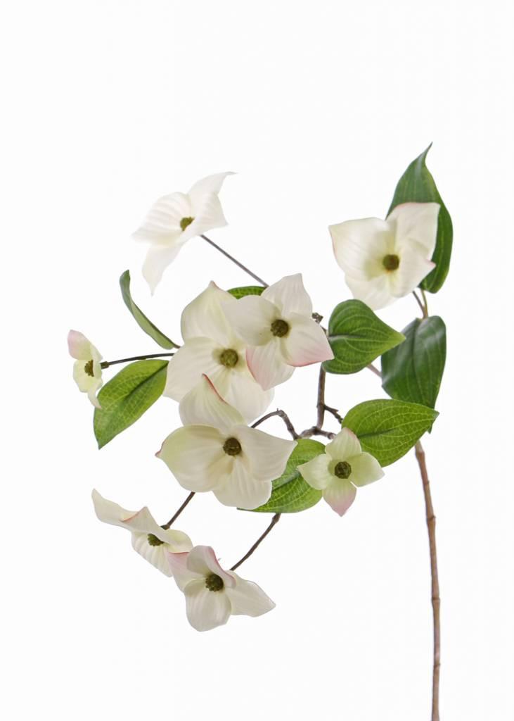 Japanese Dogwood (Cornus kousa), 9 flowers & 8leaves, 68 cm