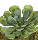 Aeonium arboreum XL, 41 Blätter, Ø 24cm