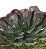 Aeonium arboreum XL, 41 blaadjes, Ø 24cm