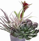 Aeonium arboreum XL, 41 lvs, Ø 24cm