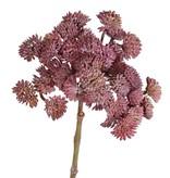 Sedum (Vetkruid), 36 toefjes, Ø ca. 12 cm, 19 cm