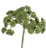 Sedum (Mauerpfeffer), 36 Sedumköpfe, Ø ca. 12 cm, 19 cm