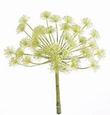 Heracleum (Berenklauw),  40 bloemenclusters, Ø 23 cm, 43 cm