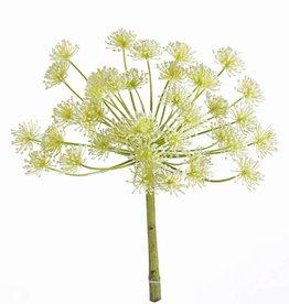Heracleum, giant hogweed, 40 clusters of flowers, Ø 23 cm,  43 cm