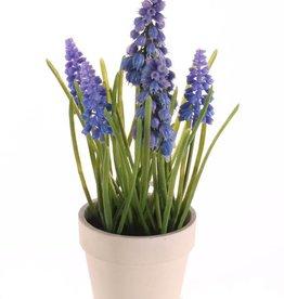 Muscari 3 grande flores, 3 pequeña  flores, 35 hojas  maceta de papel, 25cm