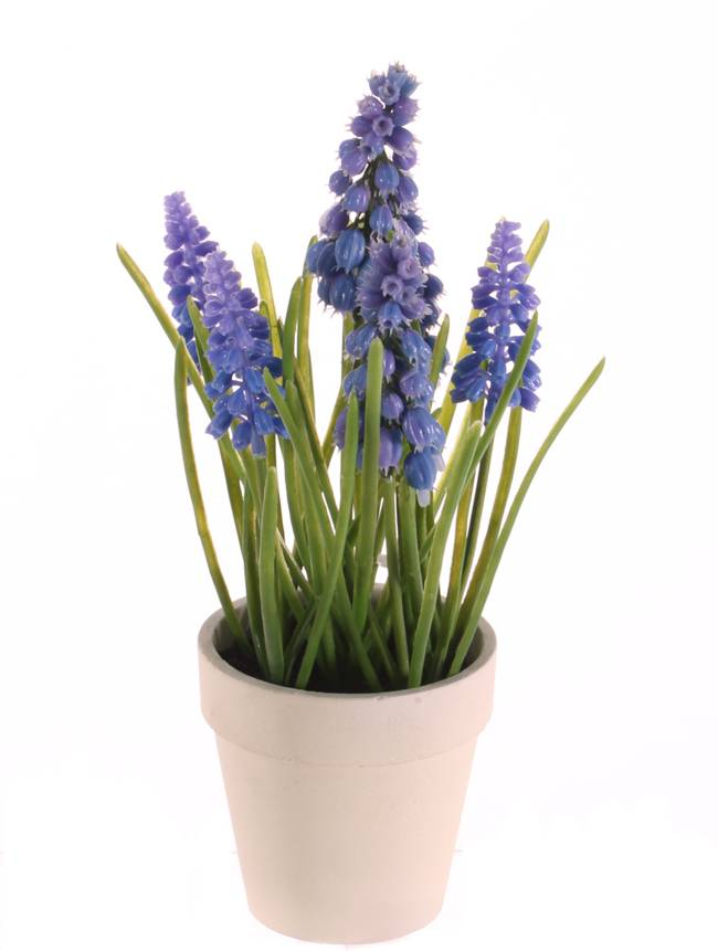 Blue Grape (Muscari) x3 big flrs, x3 small flrs, x35lvs in cream paper pot, 25cm
