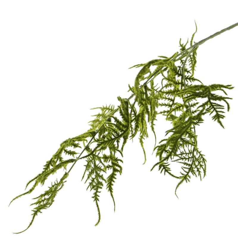 Asparaguszweig (Plumosus) mit 3 Verzweigungen, 18 Blättern, 86  cm