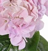 "Hydrangea ""Sensitive"", flowerhead: Ø 18cm, 52 petals & 5 lvs, 60cm"