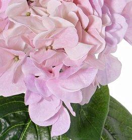 "Hortensia ""Sensitive"", Ø 18cm"